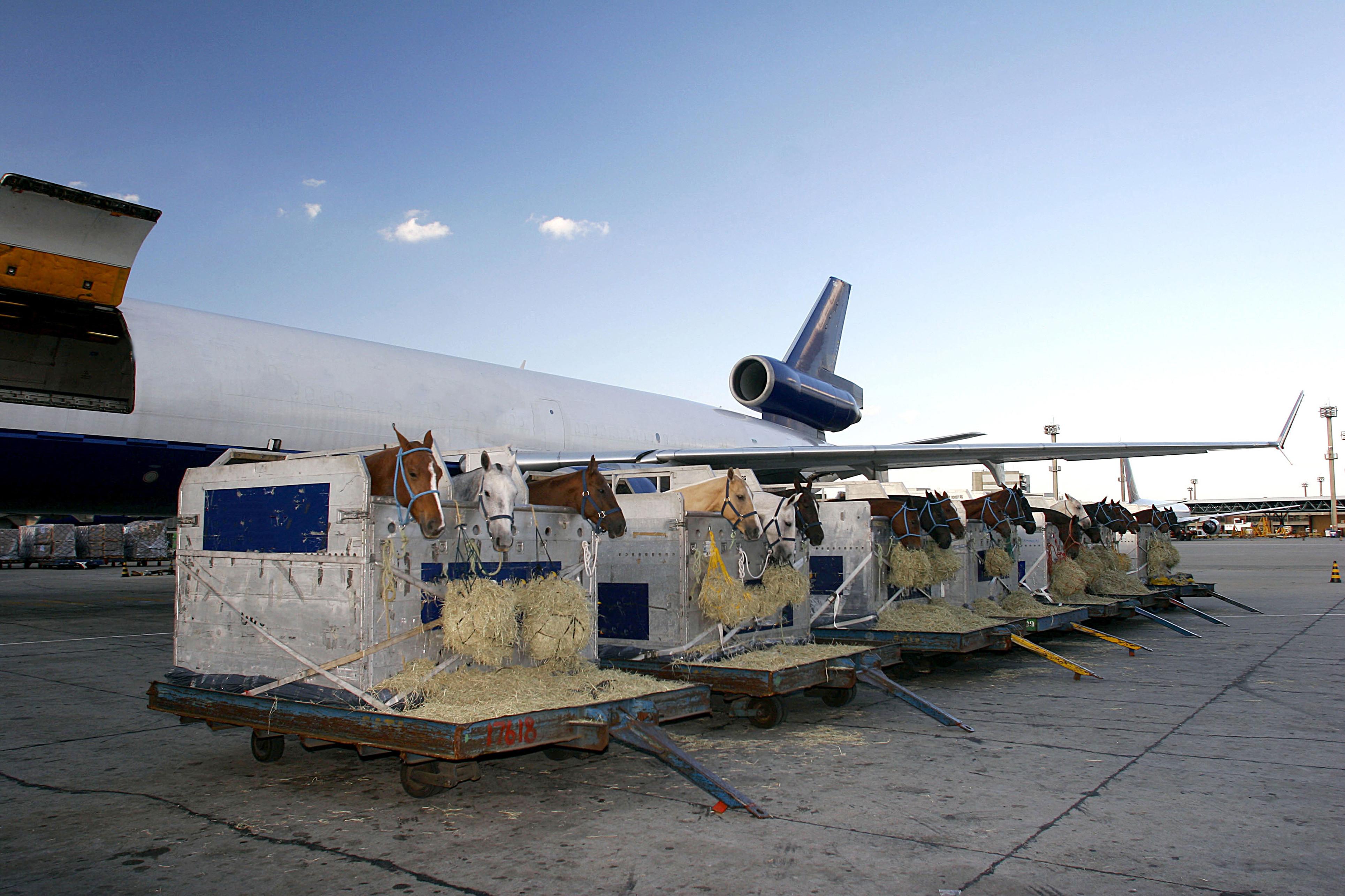 Rennpferde Transport. Vorbereitung fürs Transport im Flieger